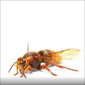 Hvepse og gedehamse