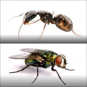 Myrer og fluer