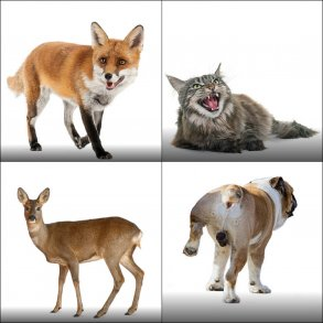 Ræve, katte, vildt, etc.